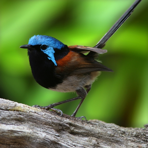 Red Winged Fairy wren, Denmark WA