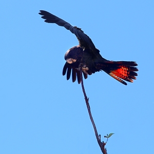 Black Cockatoo landing