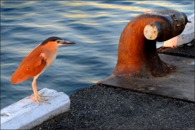 Night heron on dock