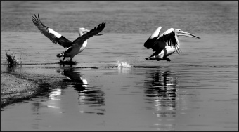Departing Pelicans CG