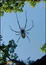 Giant Golden orb1