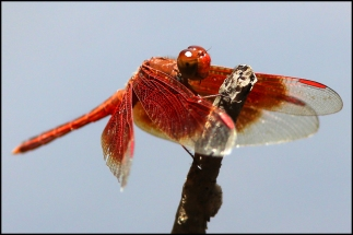 Litchfield park dragonfly CG