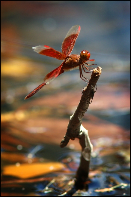 Litchfield park dragonfly2 CG