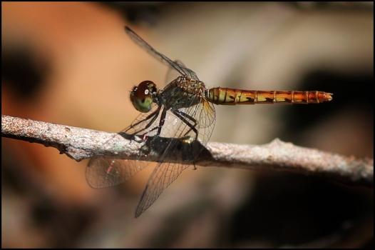 Litchfield park dragonfly4 CG