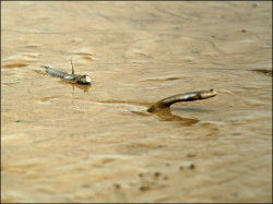 Mudskipper mid leap