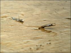 Mudskipper mid leap
