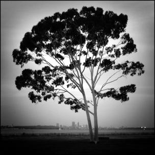 Perth beneath a gum tree