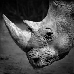 Rhino portrait1 bw CG