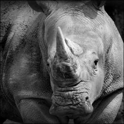 Rhino portrait2 bw CG