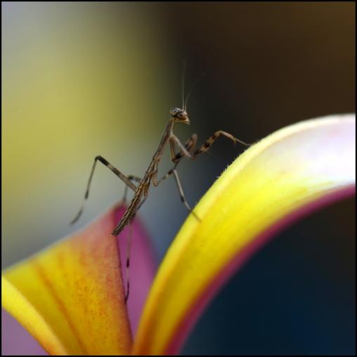 Mantis_2