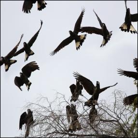 Black Cockatoos CG