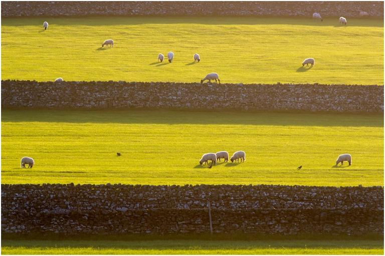 Swaledale sheep_s