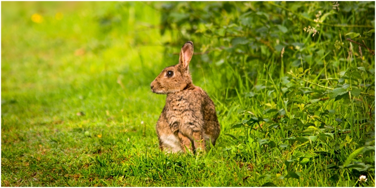 Young Hare in the hedgerow_s