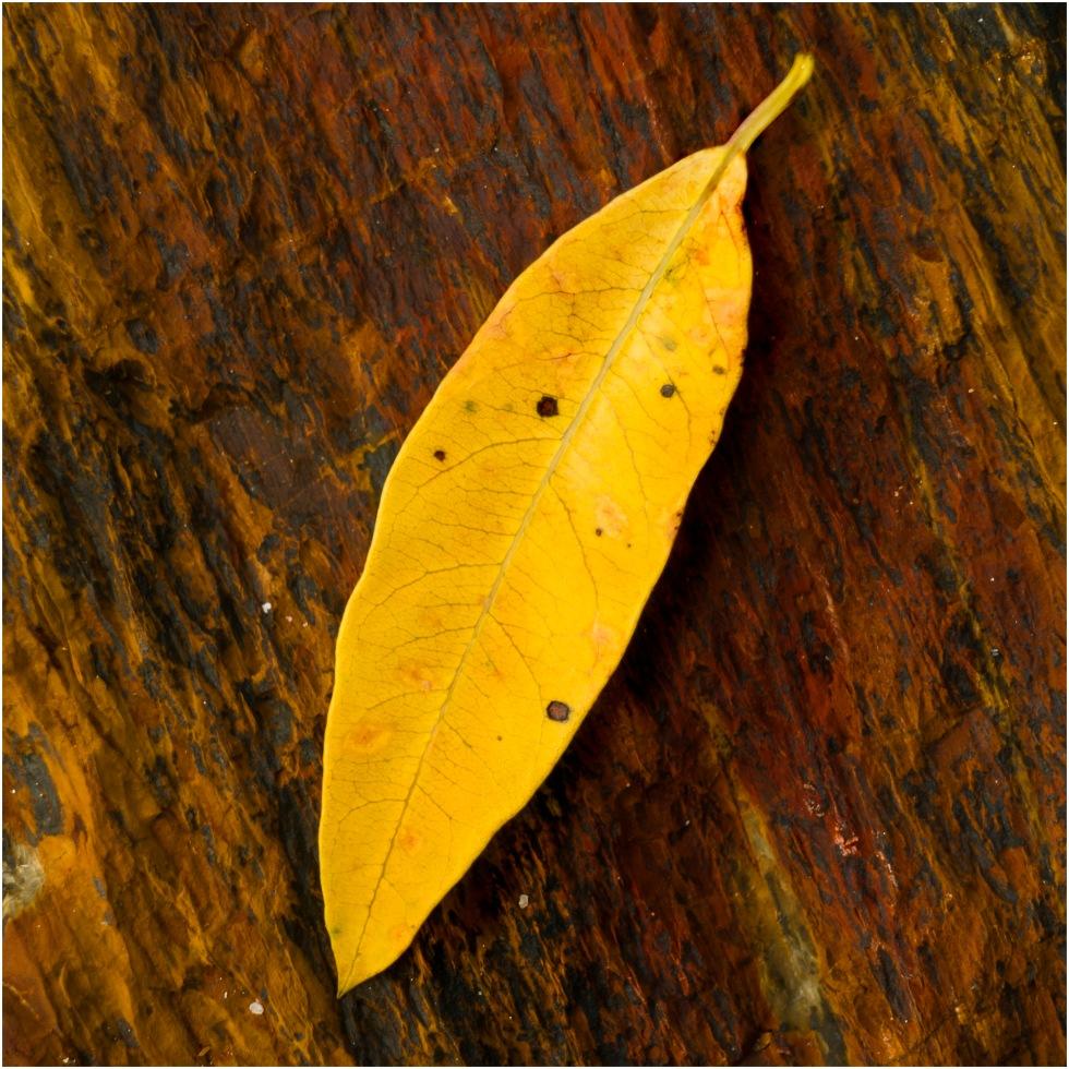 mangrove-leaf_s